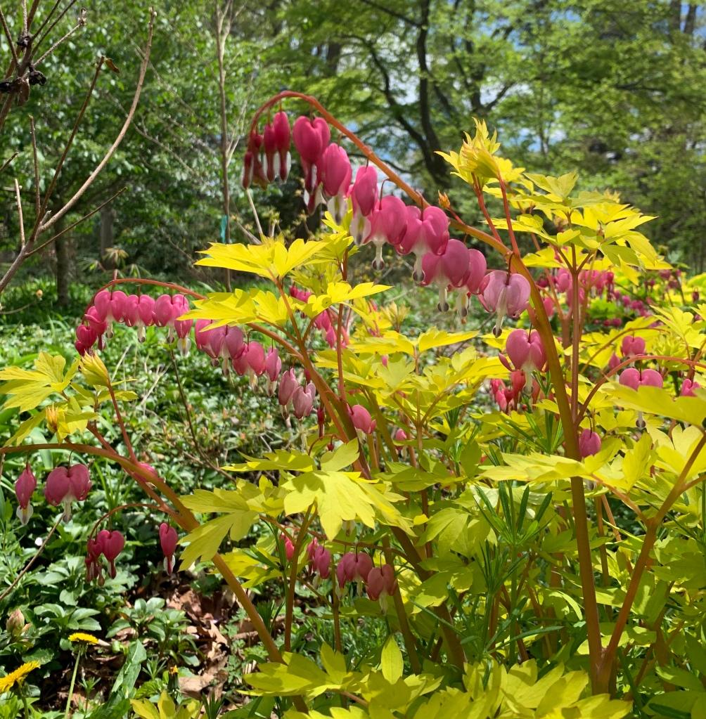 Bleeding Hearts Flowers in Planting Fields Arboretum